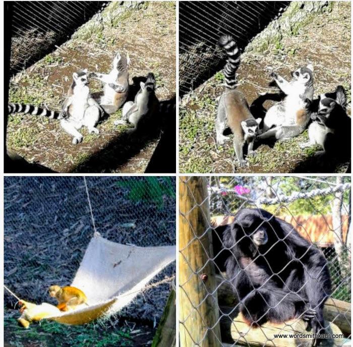 Guadalajara Zoologico Lemurs