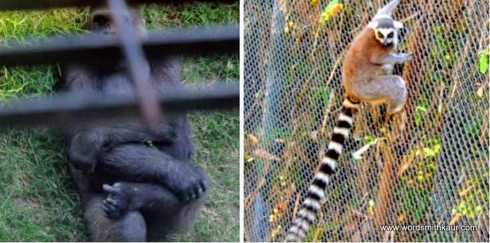 Guadalajara Zoologico Chimp