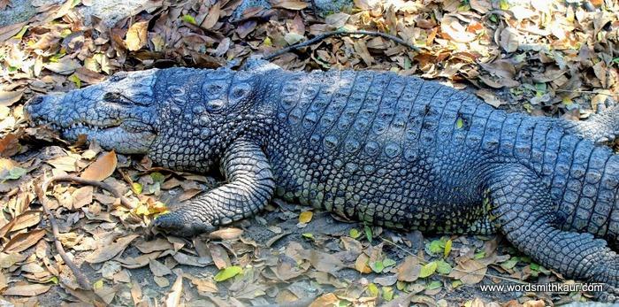 Zoologico Guadalajara Crocodile