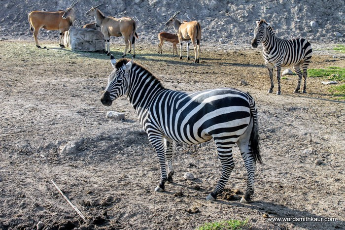Zoologico Guadalajara Zebra
