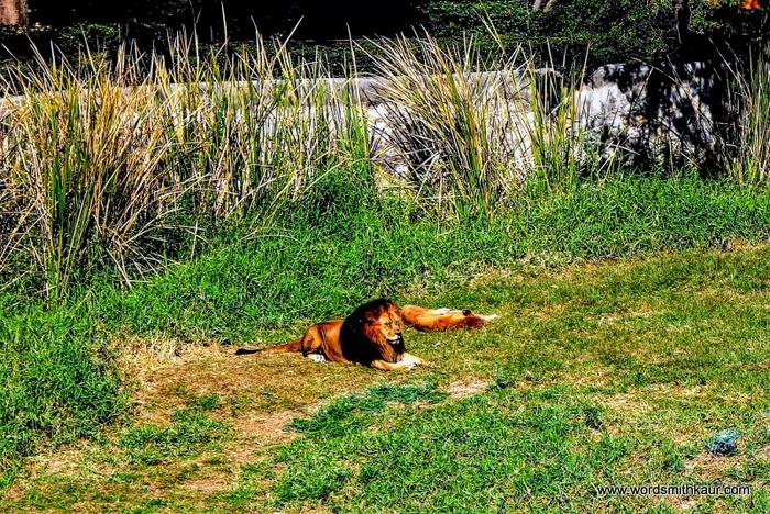 Zoologico Guadalajara  Lion