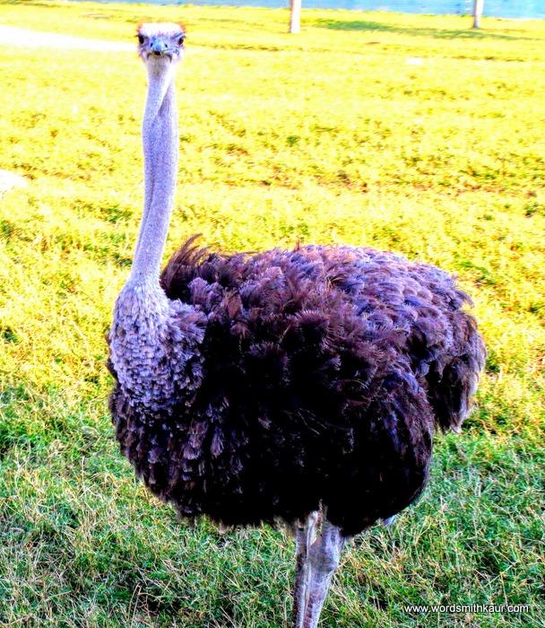 Zoologico Guadalajara Ostrich