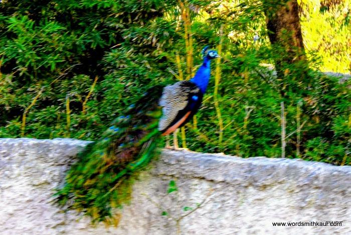 Zoologico Guadalajara peacock