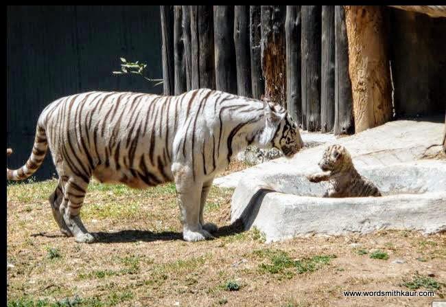 Zoologico Guadalajara White Tiger