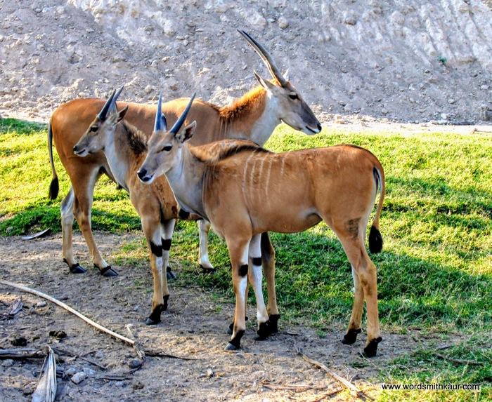 Zoologico Guadalajara Antelope