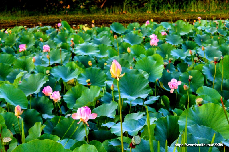 Lotus on the Dal Lake Kashmir