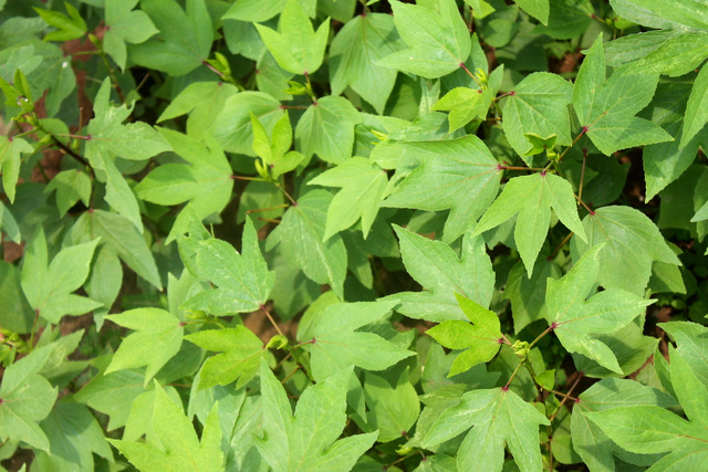 Gongura in my Garden