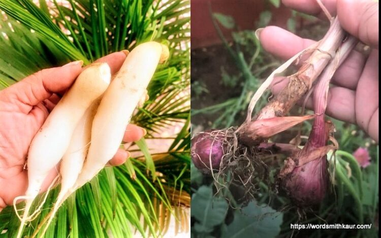 Organic Radish and Spring onion